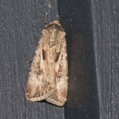 Agrotis munda (Brown Cutworm) at Higgins, ACT - 17 Sep 2021 by AlisonMilton