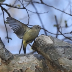 Acanthiza chrysorrhoa (Yellow-rumped Thornbill) at Higgins, ACT - 16 Sep 2021 by AlisonMilton