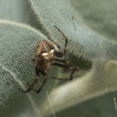 Araneinae (subfamily) (Orb weaver) at Higgins, ACT - 16 Sep 2021 by AlisonMilton