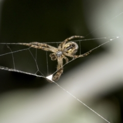 Cyclosa fuliginata (species-group) (An orb weaving spider) at Higgins, ACT - 16 Sep 2021 by AlisonMilton