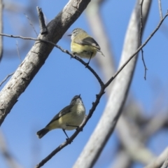 Acanthiza chrysorrhoa (Yellow-rumped Thornbill) at Higgins, ACT - 21 Sep 2021 by AlisonMilton