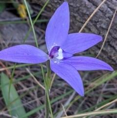 Glossodia major (Wax Lip Orchid) at Mount Majura - 4 Oct 2021 by abread111