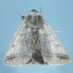 Pantydia (genus) (An Erebid moth) at Ainslie, ACT - 28 Sep 2021 by jbromilow50