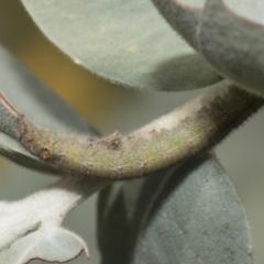 Pararguda nasuta (Wattle Snout Moth) at Higgins, ACT - 16 Sep 2021 by AlisonMilton
