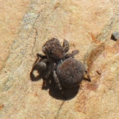 Unidentified Jumping & peacock spider (Salticidae) (TBC) at Booth, ACT - 3 Oct 2021 by Christine