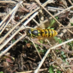 Vespula germanica (European wasp) at Booth, ACT - 2 Oct 2021 by Christine