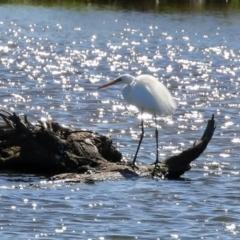 Ardea alba (Great Egret) at Fyshwick, ACT - 4 Oct 2021 by RodDeb