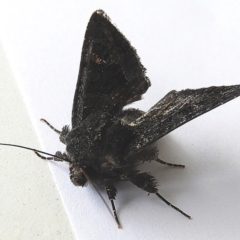 Neumichtis nigerrima (Black Turnip Moth) at Crooked Corner, NSW - 4 Oct 2021 by Milly