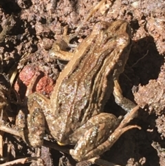 Crinia signifera (Common Eastern Froglet) at Bruce, ACT - 4 Oct 2021 by Ned_Johnston
