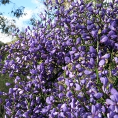 Comesperma volubile (Love Creeper) at Hackett, ACT - 4 Oct 2021 by SRyan