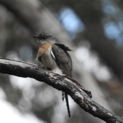 Cacomantis flabelliformis (Fan-tailed Cuckoo) at Bundanoon, NSW - 3 Oct 2021 by GlossyGal