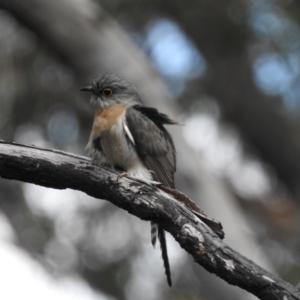 Cacomantis flabelliformis at Bundanoon, NSW - 3 Oct 2021