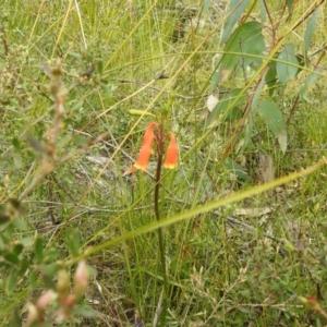 Blandfordia nobilis at Bundanoon, NSW - 3 Oct 2021