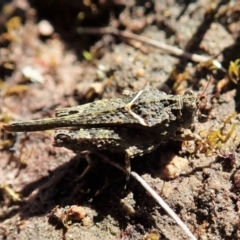 Paratettix argillaceus (A pygmy grasshopper) at Cook, ACT - 26 Sep 2021 by CathB