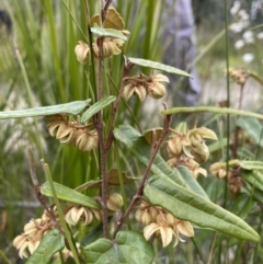 Lasiopetalum ferrugineum var. ferrugineum at Bundanoon, NSW - 3 Oct 2021