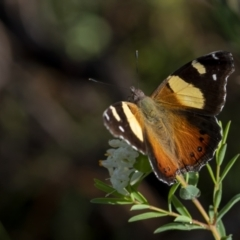 Vanessa itea (Yellow Admiral) at Molonglo Valley, ACT - 3 Oct 2021 by trevsci