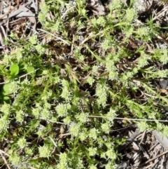 Scleranthus diander (Many-flowered Knawel) at Mount Majura - 4 Oct 2021 by Sarah2019