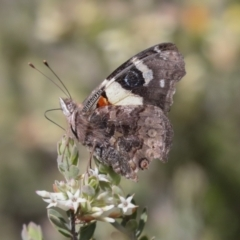 Vanessa itea (Yellow Admiral) at Bruce, ACT - 5 Oct 2021 by AlisonMilton
