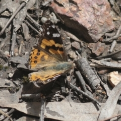 Vanessa kershawi (Australian Painted Lady) at Bruce, ACT - 5 Oct 2021 by AlisonMilton
