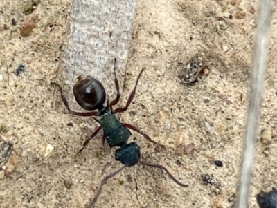 Polyrhachis hookeri (Spiny ant) at Coolac, NSW - 5 Oct 2021 by Steve_Bok