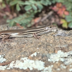Ctenotus taeniolatus (Copper-tailed Skink) at Holt, ACT - 26 Sep 2021 by TimotheeBonnet