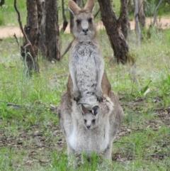 Macropus giganteus (Eastern Grey Kangaroo) at Kambah, ACT - 3 Oct 2021 by MatthewFrawley