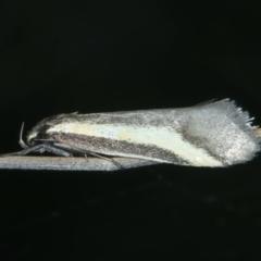 Philobota chrysopotama (A concealer moth) at Bonner, ACT - 3 Oct 2021 by jbromilow50