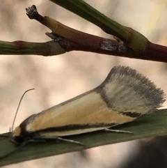 Philobota undescribed species near arabella (A concealer moth) at Aranda, ACT - 5 Oct 2021 by MattFox