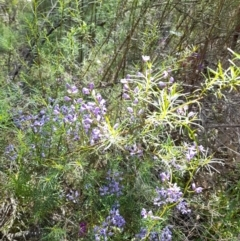 Comesperma volubile (Love Creeper) at Downer, ACT - 6 Oct 2021 by MichaelDoherty
