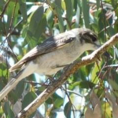 Cracticus torquatus (Grey Butcherbird) at Symonston, ACT - 6 Oct 2021 by CallumBraeRuralProperty