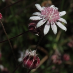 Actinotus forsythii (Pink Flannel Flower) at Bundanoon, NSW - 15 Mar 2021 by AndyRoo