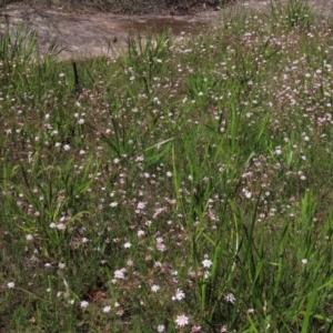 Actinotus forsythii at Bundanoon, NSW - 15 Mar 2021