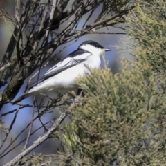 Lalage tricolor (White-winged Triller) at Majura, ACT - 5 Oct 2021 by AlisonMilton
