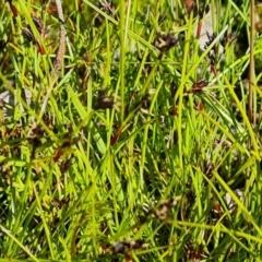 Schoenus apogon (Common Bog Sedge) at Symonston, ACT - 6 Oct 2021 by Mike