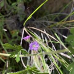 Geranium solanderi var. solanderi (Native Geranium) at Kambah, ACT - 6 Oct 2021 by Shazw