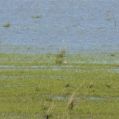 Charadrius ruficapillus (Red-capped Plover) at suppressed - 6 Oct 2021 by Liam.m