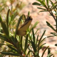 Philobota undescribed species near arabella (TBC) at Carwoola, NSW - 6 Oct 2021 by Liam.m