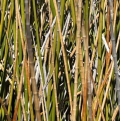 Baumea articulata (Jointed Twig-rush) at Amaroo, ACT - 6 Oct 2021 by JaneR