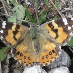 Vanessa kershawi (Australian Painted Lady) at Garran, ACT - 28 Sep 2021 by RobParnell