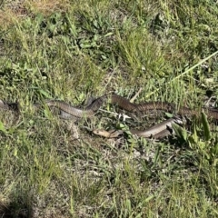 Pseudonaja textilis (Eastern Brown Snake) at Murrumbateman, NSW - 6 Oct 2021 by SimoneC