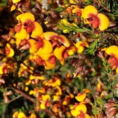 Dillwynia phylicoides (A Parrot-pea) at Cook, ACT - 5 Oct 2021 by drakes