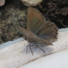 Paralucia spinifera (Bathurst or Purple Copper Butterfly) at Booth, ACT - 3 Oct 2021 by Christine