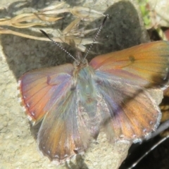 Paralucia spinifera (Bathurst or Purple Copper Butterfly) at Booth, ACT - 2 Oct 2021 by Christine