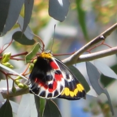 Delias harpalyce (Imperial Jezebel) at Paddys River, ACT - 6 Oct 2021 by Christine