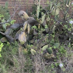 Opuntia ficus-indica (Indian Fig, Spineless Cactus) at O'Malley, ACT - 7 Oct 2021 by jgilbert49