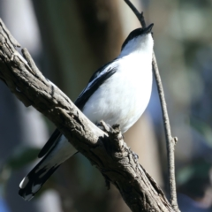 Lalage tricolor (White-winged Triller) at Pialligo, ACT - 6 Oct 2021 by jbromilow50