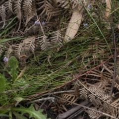 Conospermum tenuifolium at Penrose, NSW - 4 Oct 2021