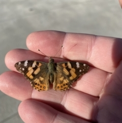 Vanessa kershawi (Australian Painted Lady) at Queanbeyan, NSW - 7 Oct 2021 by Ozflyfisher