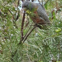 Callocephalon fimbriatum (Gang-gang Cockatoo) at Penrose, NSW - 2 Oct 2021 by Aussiegall