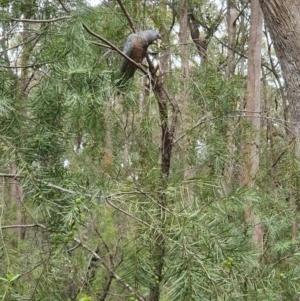 Callocephalon fimbriatum at Penrose, NSW - 2 Oct 2021